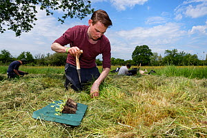 Wiltshire Wildlife Trust volunteer using a dibber to create holes for planting Devil's bit scabious (Succisa pratensis) plant plugs in a mown patch of a formerly farmed meadow to provide food for...  -  Nick Upton