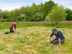 Wiltshire Wildlife Trust volunteers planting Devil's bit scabious (Succisa pratensis) plant plugs in a mown patch of a formerly farmed marshy meadow to provide food for caterpillars of the Marsh f...  -  Nick Upton