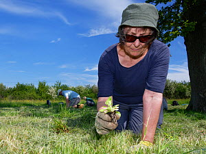 Wiltshire Wildlife Trust volunteers planting Devil's bit scabious (Succisa pratensis) plant plugs in a mown patch of a formerly farmed meadow to provide food for caterpillars of the Marsh fritilla...  -  Nick Upton