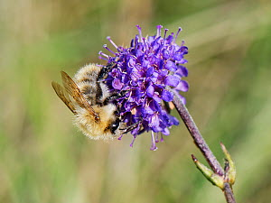 Common carder bee (Bombus pascuorum) visiting a Devil's bit scabious (Succisa pratensis) flower in a chalk grassland meadow, Wiltshire, UK, September.  -  Nick Upton