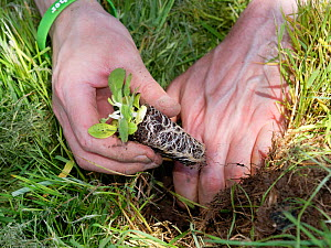 Devil's bit scabious (Succisa pratensis) plug being planted in a formerly farmed meadow by a Wiltshire Wildlife Trust volunteer to provide food for caterpillars of the Marsh fritillary butterfly (...  -  Nick Upton