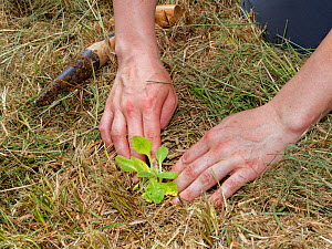 Devil's bit scabious (Succisa pratensis) plug being planted in a hole created by a dibber in a formerly farmed meadow by a Wiltshire Wildlife Trust volunteer to provide food for caterpillars of th...  -  Nick Upton