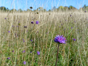 Devil's bit scabious (Succisa pratensis) stand flowering in a chalk grassland meadow in autumn after other flowers have set seed, Wiltshire, UK, September.  -  Nick Upton