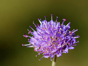 Devil's bit scabious (Succisa pratensis) flowering in a woodland ride, Lower Woods, Gloucestershire, UK, October.  -  Nick Upton