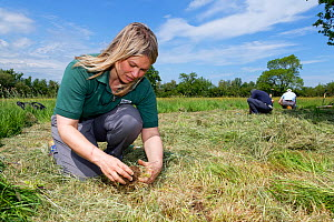 Ellie Jones of Wiltshire Wildlife Trust and two volunteers planting Devil's bit scabious (Succisa pratensis) plant plugs in a formerly farmed meadow to provide food for caterpillars of the Marsh f...  -  Nick Upton
