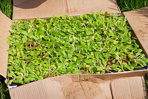 Tray of Devil's bit scabious (Succisa pratensis) plugs ready for planting to provide food for caterpillars of the Marsh fritillary butterfly (Euphydryas aurinia), Wiltshire Wildlife Trust's Upper...  -  Nick Upton