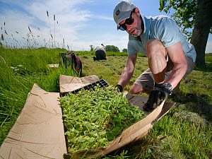 Wiltshire Wildlife Trust volunteer with a tray of Devil's bit scabious (Succisa pratensis) plant plugs, as another plants some in a formerly farmed meadow to provide food for caterpillars of the M...  -  Nick Upton