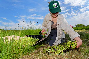 Wiltshire Wildlife Trust volunteer with a tray of Devil's bit scabious (Succisa pratensis) plant plugs, selecting some for planting in a formerly farmed meadow to provide food for caterpillars of...  -  Nick Upton