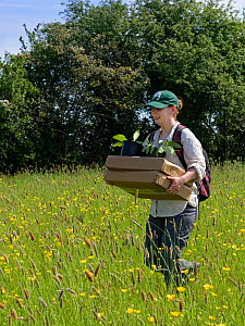 Wiltshire Wildlife Trust volunteer carrying trays and pots of Devil's bit scabious (Succisa pratensis) plant plugs for planting in a formerly farmed meadow to provide food for caterpillars of the...  -  Nick Upton