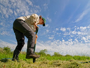 Wiltshire Wildlife Trust volunteer digging a hole in a mown patch of a formerly farmed meadow, before planting a Devil's bit scabious (Succisa pratensis) plant plug to provide food for caterpillar...  -  Nick Upton