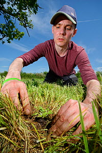 Wiltshire Wildlife Trust volunteer planting a Devil's bit scabious (Succisa pratensis) plant plug in a formerly farmed meadow to provide food for caterpillars of the Marsh fritillary butterfly (Eu...  -  Nick Upton
