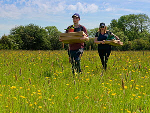 Wiltshire Wildlife Trust volunteers carrying trays of Devil's bit scabious (Succisa pratensis) plant plugs for planting in a formerly farmed meadow to provide food for caterpillars of the Marsh fr...  -  Nick Upton