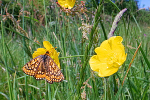 Marsh fritillary butterfly (Euphydryas aurinia) nectaring on a Meadow buttercup (Ranunculus acris) flower in a chalk grassland meadow, Wiltshire, UK, June.  -  Nick Upton