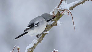 Great grey shrike (Lanius excubitor) feeding on a mouse that it placed in its 'larder' on a rose branch, Bavaria, Germany, February.  -  Hermann Brehm