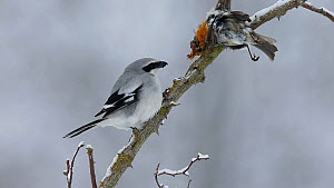 Great grey shrike (Lanius excubitor) feeding on a bird that it placed in its 'larder' on a rose branch, Bavaria, Germany, February.  -  Hermann Brehm
