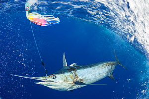 Blue marlin (Makaira nigricans) caught by hook, next to boat, and about to be tagged and released, Vava'u, Kingdom of Tonga, South Pacific  -  Doug Perrine