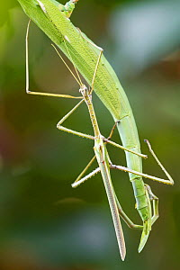 Darwin stick insects (Eurycnema osiris) mating pair, the female is the larger insect in the background. Darwin, Northern Territory, Australia, March.  -  Etienne Littlefair