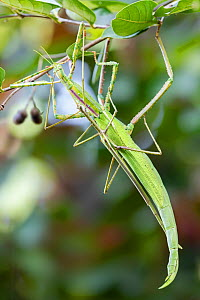 Darwin stick insects (Eurycnema osiris) mating pair, the female is the larger insect. Darwin, Northern Territory, Australia, March.  -  Etienne Littlefair