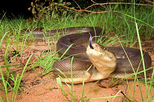 Olive python (Liasis olivaceus) a very large specimen moving down towards a creek to cool off on a hot night, flicking tongue. Batchelor, Northern Territory, Australia, November.  -  Etienne Littlefair
