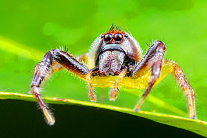 Northern green jumping spider (Mopsus mormon), adult male actively hunting, Darwin, Northern Territory, Australia, March.  -  Etienne Littlefair