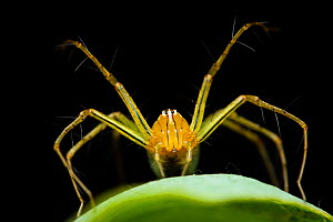 Papuan lynx spider (Oxyopes papuanus), Adelaide River, Northern Territory, Australia, March.  -  Etienne Littlefair
