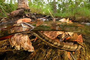 Macleay's water snake (Pseudoferania polylepis) surfacing for air in a shallow creek off Adelaide River, Northern Territory, Australia, May.  -  Etienne Littlefair
