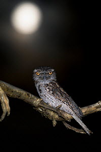 Tawny frogmouth (Podargus strigoides) and full moon, Darwin, March.  -  Etienne Littlefair