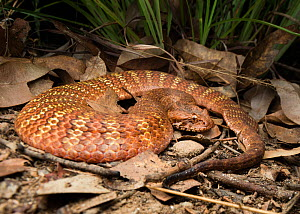 Rough-scaled death adder (Acanthophis rugosus), slightly inflated to show bright defensive colours hidden between scales, Batchleor, Northern Territory, Australia, November.  -  Etienne Littlefair