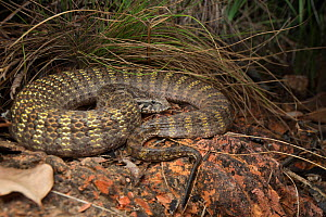Rough-scaled death adder (Acanthophis rugosus), slightly inflated to show bright defensive colours hidden between scales, Cox Peninsula, Northern Territory, Australia, November.  -  Etienne Littlefair