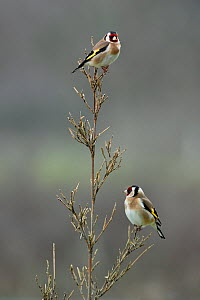 European goldfinch (Carduelis carduelis) two perched on a branch Vendee, France, January  -  Loic Poidevin