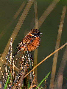 European stonechat (Saxicola rubicola) On a branch, Vendee, France, December. Small repro only  -  Loic Poidevin