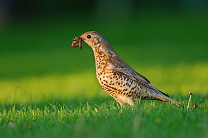 Mistle thrush (Turdus viscivorus) with worms for young at nest. London, UK. May  -  Oscar Dewhurst