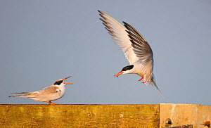 Common tern (Sterna hirundo) parent approaching chick with food. London, UK. August  -  Oscar Dewhurst