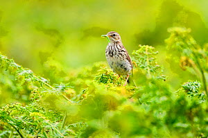 Meadow pipit (Anthus pratensis) perched on bracken with food for chicks. Skomer Island, Wales, UK. July.  -  Oscar Dewhurst