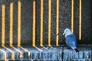 Black-legged kittiwake (Rissa tridactyla) adult perched on a ledge of the Tyne Bridge, with light filtering through gaps in the bridge. Newcastle, UK. June. Highly Commended in Bird Photographer of th...  -  Oscar Dewhurst