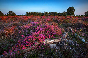 New Forest landscape with Bell Heather (Erica cinerea) New Forest National Park, Hampshire, England, UK. August 2018.  -  Matthew Maran