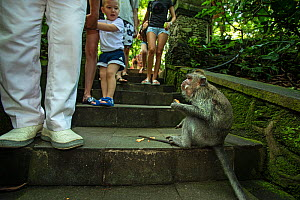 Long-tailed macaque (Macaca fascicularis) surrounded by tourists at Monkey Forest Temple Ubud, Bali Indonesia. February 2019.  -  Matthew Maran