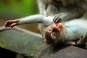 Long-tailed macaque (Macaca fascicularis) juvenile, groomed by the adult Ubud, Bali Indonesia  -  Matthew Maran