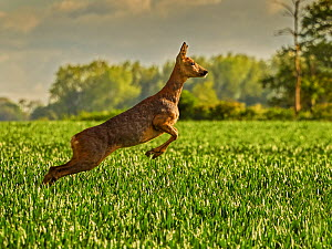 RF - Roe Deer (Capreolus capreolus) doe leaping, UK, May. (This image may be licensed either as rights managed or royalty free.).  -  Andy Rouse