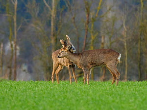 Roe Deer (Capreolus capreolus) buck and doe during courtship, UK. Medium-repro only.  -  Andy Rouse
