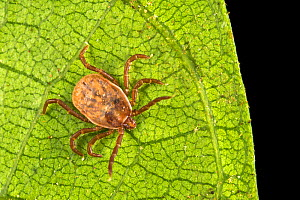 Tick (Ixodidae) waing for passing host on leaf in rainforest understory vegetation. Danum Valley, Sabah, Borneo.  -  Alex Hyde