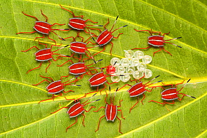 'Safety in Numbers' - Giant Shield bug nymphs (Pycanum sp.), recently hatched from eggs, with a final individual still to emerge. By staying in a tight group, the nymphs increase the effective...  -  Alex Hyde