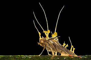 Cordyceps fruiting bodies erupting from a dead moth that the fungus has killed. Danum Valley, Sabah, Borneo.  -  Alex Hyde