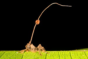 Cordyceps fruiting body erupting from a dead ant that the fungus has killed. Danum Valley, Sabah, Borneo.  -  Alex Hyde