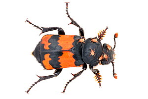 Sexton / Burying Beetle (Nicrophorus investigator) photographed on a white background in mobile field studio. This species feeds on carrion. A small vertebrate corpse such as a vole will be buried as...  -  Alex Hyde