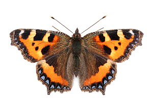 Small tortoiseshell butterfly (Aglais urticae) photographed on a white background in mobile field studio. Peak District National Park, Derbyshire, UK. September. Focus stacked image.  -  Alex Hyde
