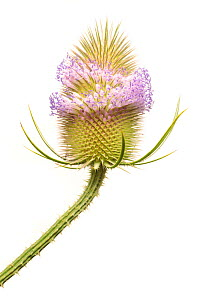 Teasel (Dipsacus fullonum) in flower photographed against a white background in mobile field studio. Peak District National Park, Derbyshire, UK. August.  -  Alex Hyde