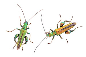 Thick-legged Flower Beetles (Oedemera nobilis). Two males showing variation in colour. Males have much thicker rear legs compared to females. Phototgraphed on a white background in mobile field studio...  -  Alex Hyde