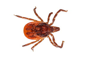 Sheep Tick (Ixodes ricinus) photographed on a white background in mobile field studio. Devon, UK. May.  -  Alex Hyde