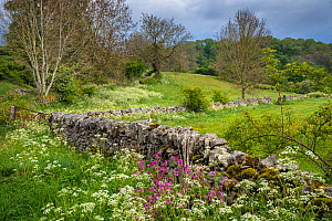 Cow Parsley (Anthriscus sylvestris) and Red Campion (Silene dioica) in bloom alongside a limestone dry stone wall. Youlgrave, Peak District National Park, Derbyshire, UK. May.  -  Alex Hyde